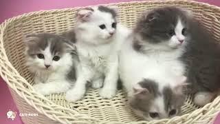 Scottish Fold Cat Breeds # 2