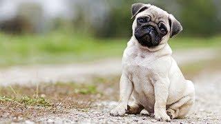 купить  мопса щенка