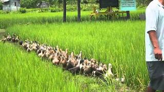 Rice Duck Farming!!!