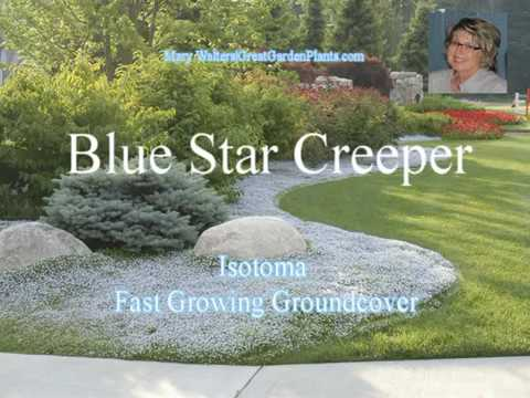 Blue Star Creeper Fast Growing Groundcover