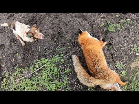 Hunting - FOX!