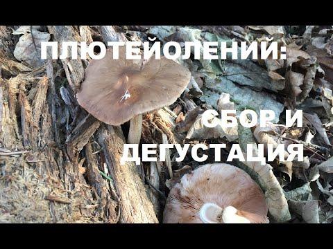 Плютей олений осенние съедобные грибы. Трускавец.