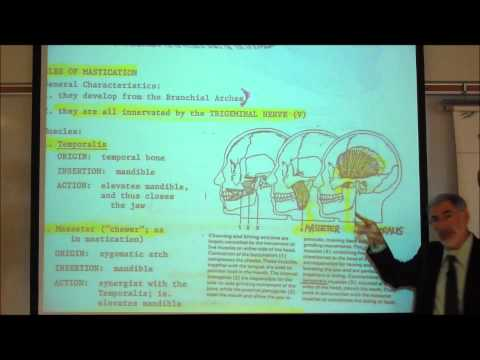 ANATOMY; MUSCLES OF THE FACE & HEAD by Professor Fink