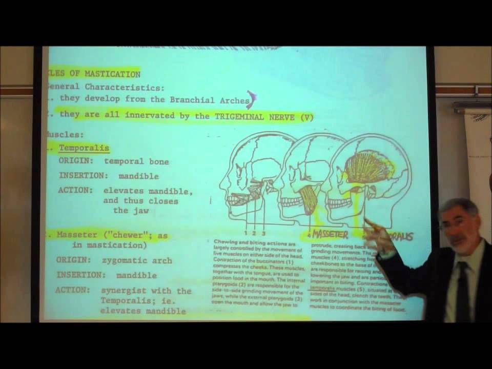 Anatomy Muscles Of The Face Head By Professor Fink Youtube