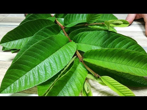 How to treat diabetes with these leaves! Diabetes management at home!