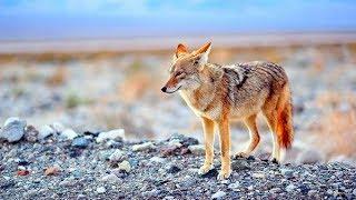 Нападение койотов