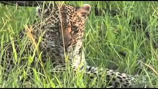 Hieny i Lampart w afrykańskim buszu