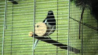 """Oriental Magpie Robin, Dajal indyjski  """"Copsychus saularis"""""""
