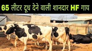 Beautiful HF Cow 🐄 || Milk - 65 Lt per Day || Khera Dairy Farm - Kapurthala