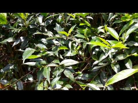 Green Tea Camellia sinensis [Supplier & Exporter]