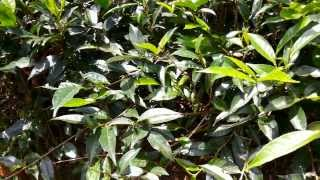 Green Tea Camellia sinensis [Supplier & Exporter]