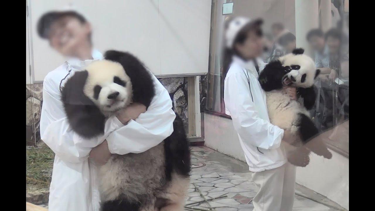 【抱っこがたいへんw】ふたごパンダ☆ジタバタ退場!【桜浜&桃浜】 Giant panda ,Ouhin\u0026Touhin,