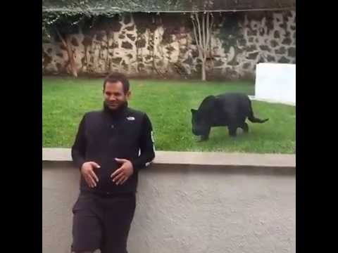 black jaguar white tiger foundation - youtube