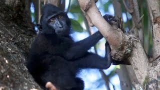 Black Crested Macaques in their morning routine 1