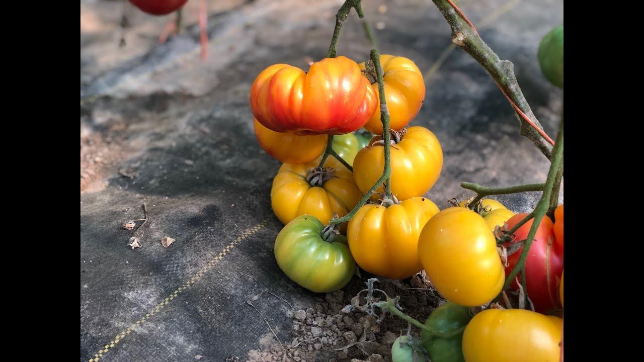 выращивание томатов на гидропонике в теплице