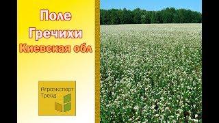Поле Гречки  Киевская обл