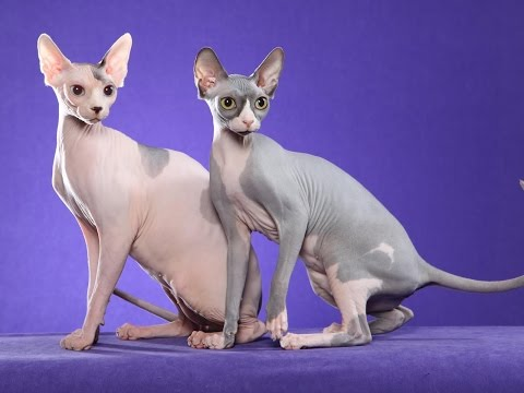 Sphynx cat Cat Breed