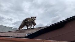 Raccoon Removal From Garage Wall
