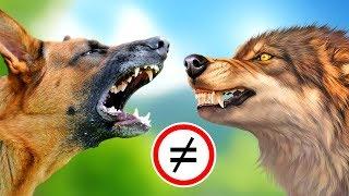 Почему собака это далеко не волк