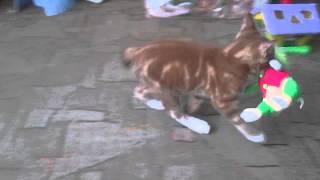 кот, курильский бобтейл носит игрушку в зубах как собака