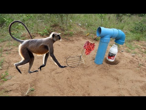 Installing DIY Monkey Trap using Oil bottle and Pipe You ever See this Trap?