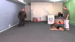 Candy, A German Shepherd Doing Off Leash Obedience, Frisbee Work And Protection Training