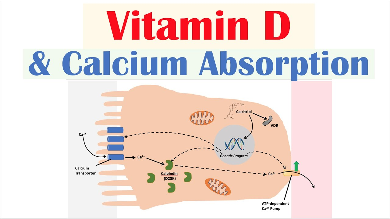 Vitamin D and Intestinal Calcium Absorption