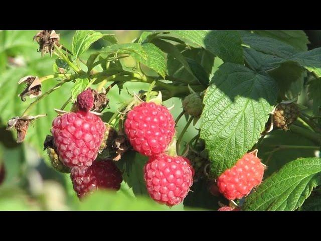 În grădina Danei: Cum se îngrijeşte zmeurul