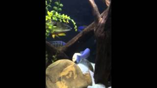Quinn's Fins Cichlid Fish Tank