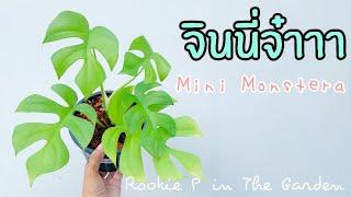 [ Rookie P ] In the Garden EP5 :  จินนี่จ๋าาา Mini Monstera 🌱