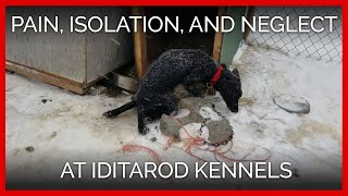 Dogs Endure Pain, Isolation, and Neglect at Iditarod Kennels
