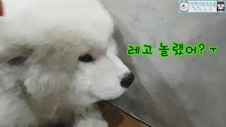 결한마리네) 점점 더러워지는 강아지 레고 놀래키기 ㅋㅋ 미안해 우리애기~ㅜ 사모예드 말라뮤트 일상