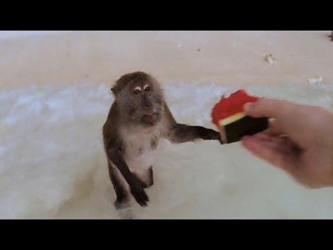Feeding Monkeys in Thailand - Ko Phi Phi Monkey Beach