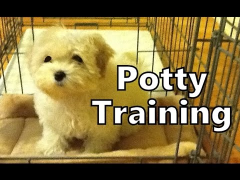 How To Potty Train A Maltese Puppy - Maltese House Training Tips - Housebreaking Maltese Puppies