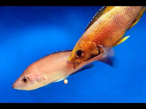 Cyprichromis sp. kitumba