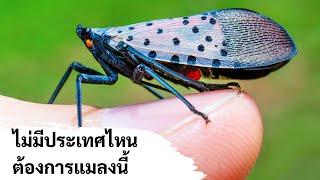 นี่คือเหตุผลที่ไม่มีประเทศไหนต้องการเห็นแมลงนี้เลย