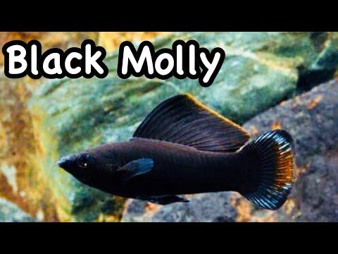 Black Molly   Fish Review