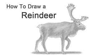 How to Draw a Reindeer (Caribou)