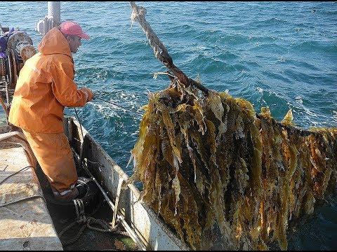 Как добывают морскую капусту