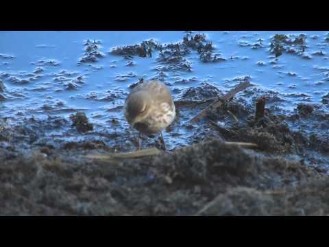 Bisbita Alpino (Anthus spinoletta)