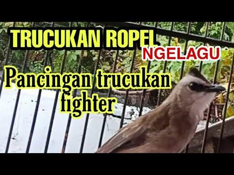 Trucukan Ropel Gacor Isian Cucak Rowo Youtube