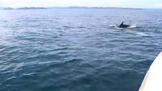 resident dolphins of Russell/Paihia/Bay of Islands- New Zealand
