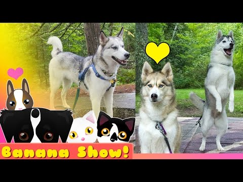 Camping with the Snow Dogs  | The Banana Talking Dog Show Ep: 14