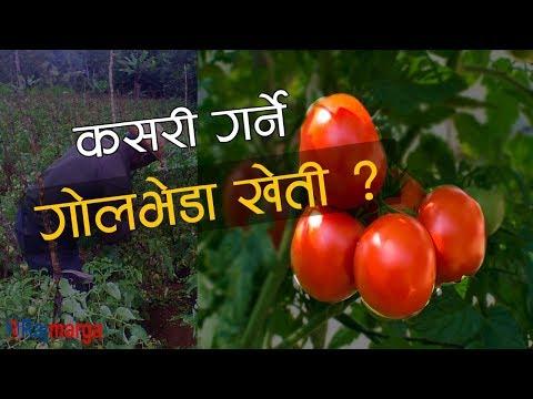 Organic tomato farming in Nepal