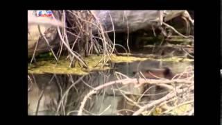 Documentário SIC - O Nosso Mundo - O Castor - 2014-11-08