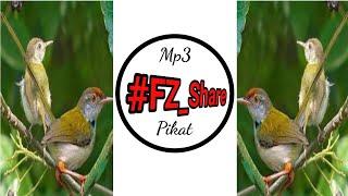 Mp3 Pikat Prenjak Lumut TopOne #Common_Tailor #Bird #Catch