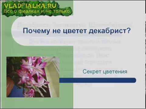 Почему не цветет декабрист ?