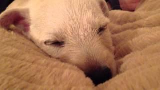 Mollie The Westie Cross Scottie Puppy Sleeps