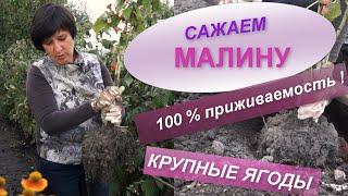 ПОСАДКА МАЛИНЫ   Секреты хорошего урожая малины