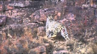 Snow leopards - The Survivors of Altai, #05, 알타이의 눈표범